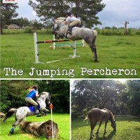 Jumping Percheron Dressage